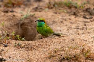 Little Green Bee-eater near its Nest