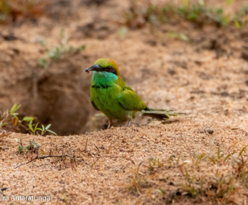 Little Green Bee-eater near its Nest