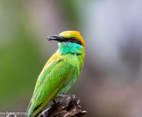 Little Green Bee-eater with a snack